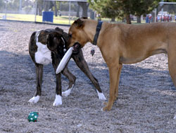 Two dogs play with frisbee in Palo Verde Park